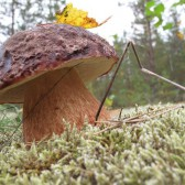 Белые грибы крупные свежие